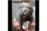 Picture of Blue XL Puppies