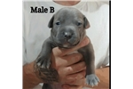Picture of XL Blue Champagne Puppies
