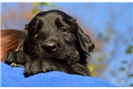 Picture of Black puppies with nice FCI pedigree!