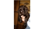 Picture of Boykin Spaniel Female