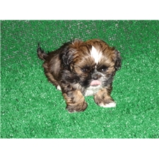 View full profile for Tcp Shih Tzu's