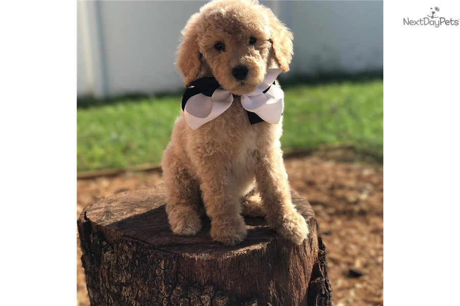 Poodle, Standard puppy for sale near Tampa Bay Area, Florida