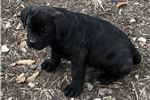 Picture of Energetic and Healthy Male Cane Corso Puppy