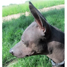 View full profile for Blue Sky Hairless Terriers