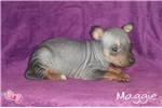 Picture of Maggie, American Hairless Terrier Puppy For Sale!