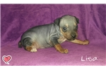 Picture of Lisa, American Hairless Terrier Puppy For Sale!