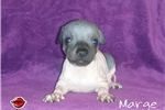 American Hairless Terrier for sale