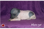 Picture of Marge, American Hairless Terrier For Sale!