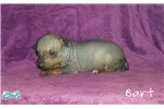 Picture of Bart, American Hairless Terrier Puppy For Sale!