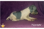 Picture of Homer, American Hairless Terrier Puppy For Sale!
