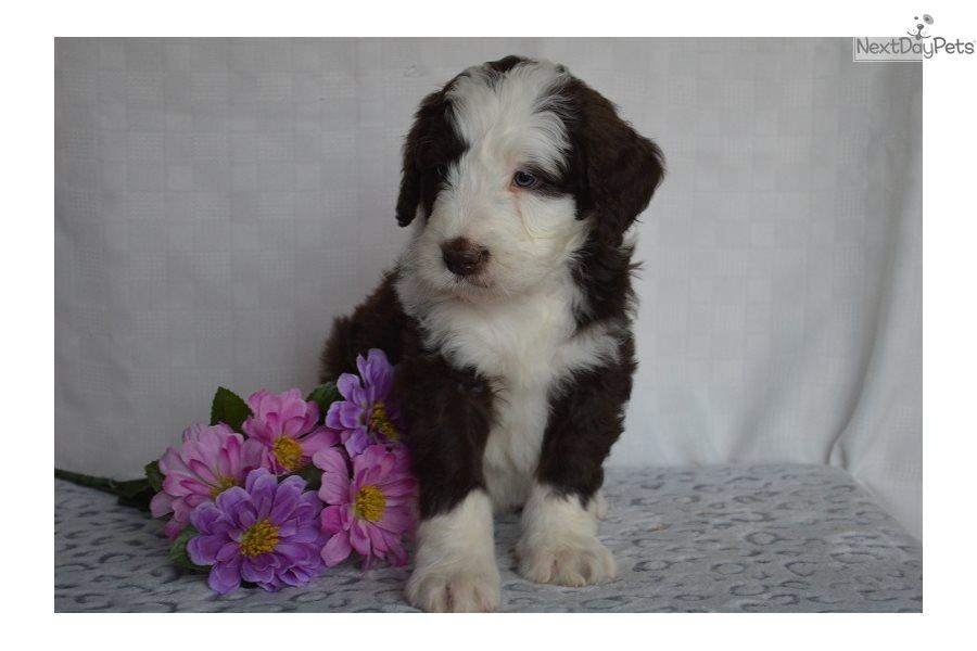 Caper Bernedoodle Puppy For Sale Near Southwest Va Virginia