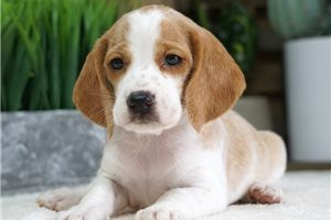 Beagle Puppies For Sale From Missouri Breeders