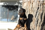 Picture of a Canis Panther Puppy