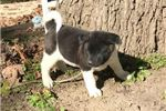 Picture of Molly a Very loving Puppy .AKC Ch BL Line