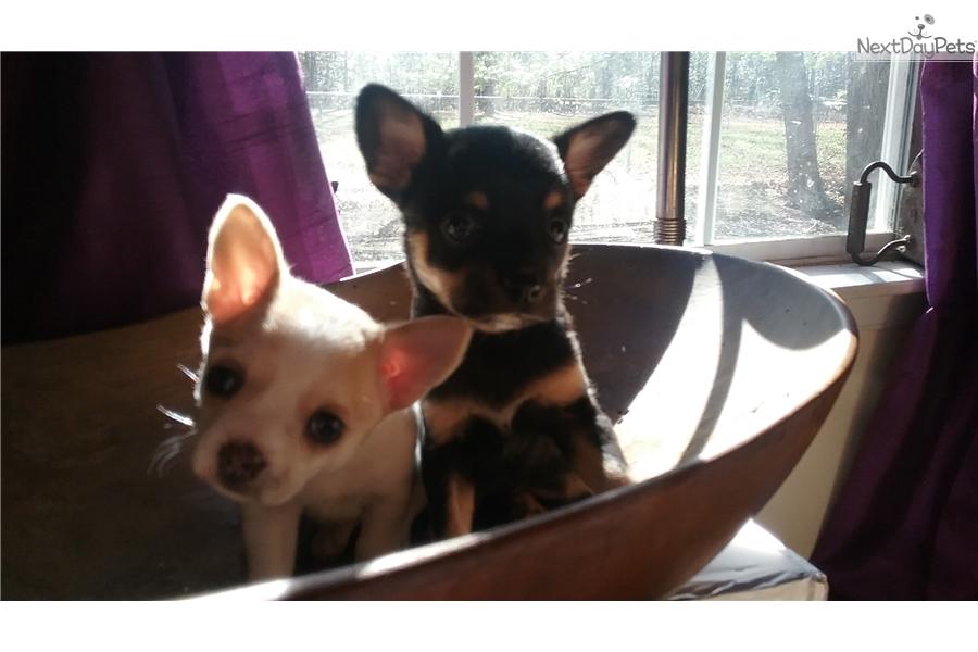 Sugar Cookie : Chihuahua puppy for sale near Richmond, Virginia