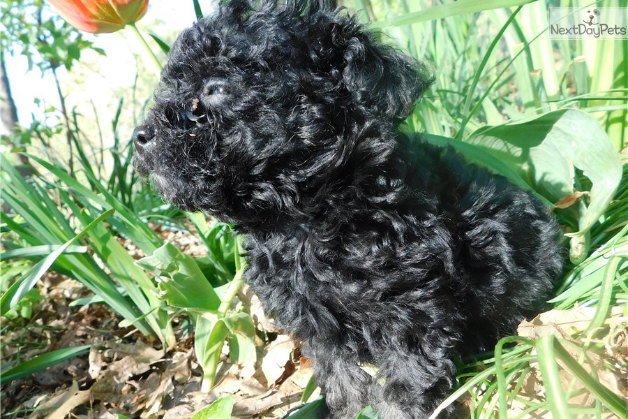 Yolande Poodle Toy Puppy For Sale Near Richmond Virginia