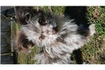 Picture of Chocolate Merle Pom Poo blue eyed female