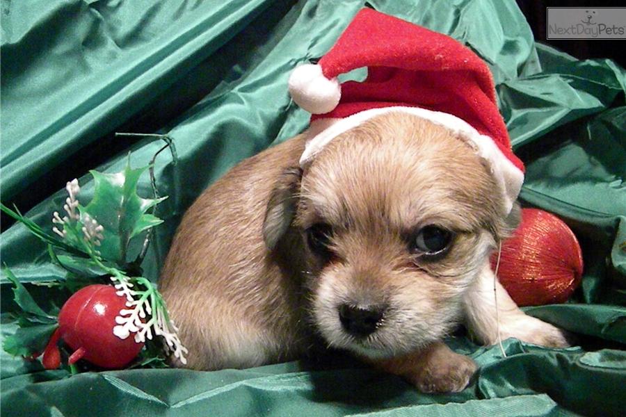 Spice Yorkshire Terrier Yorkie Puppy For Sale Near Richmond