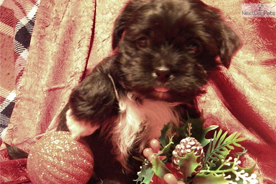 Peace Yorkshire Terrier Yorkie Puppy For Sale Near Richmond