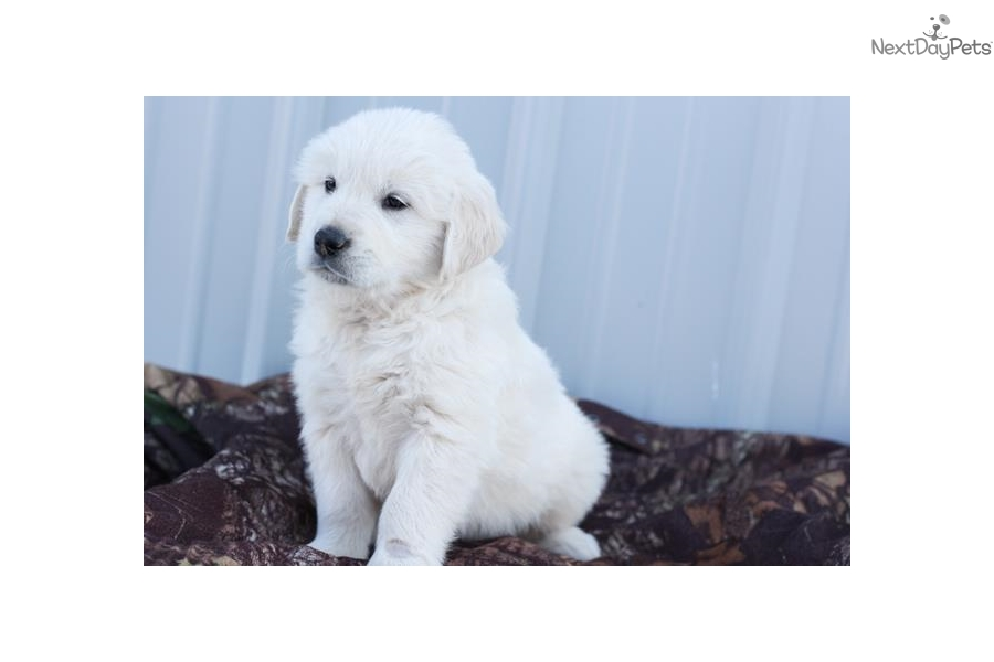 golden retriever puppies for sale in illinois dustin english golden retriever puppy for sale near 3105