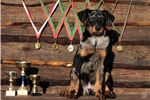 Picture of Very promising Beauceron puppies for sale!