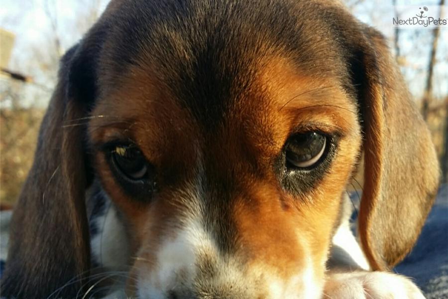 Beagle Puppy For Sale Near Hickory Lenoir North Carolina