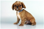 Picture of Murphy - WWW.ELITEPUPPIES.COM