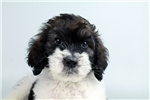 Picture of a Saint Berdoodle - St. Berdoodle Puppy