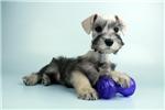 Picture of a Miniature Schnauzer Puppy
