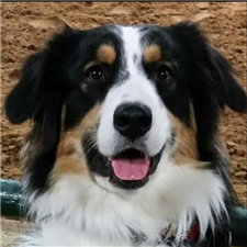 View full profile for 3 Crosses Australian Shepherds