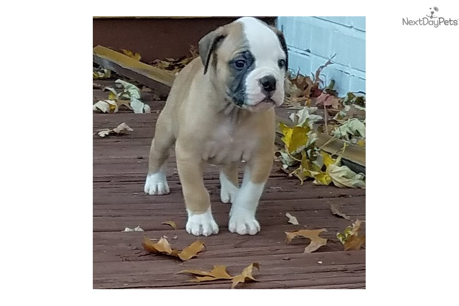 Boss: American Bulldog puppy for sale near St Louis