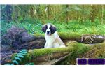 Picture of Gorgeous Saint Bernard puppies TOP QUALITY