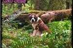 Picture of Rough coat Saint Bernard Puppy