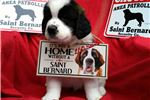 Saint Berdoodle - St. Berdoodle for sale