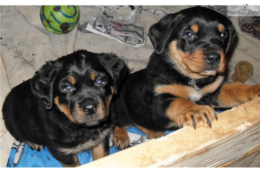 Green Band Rottweiler Puppy For Sale Near Denver Colorado