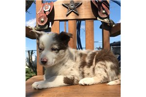 Toby - Border Collie for sale