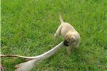 Picture of Bella AKC Bullmastiff