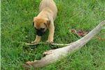 Picture of Duke AKC Bullmastiff