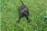 Picture of Gunner Jr.   AKC Registered Bullmastiff