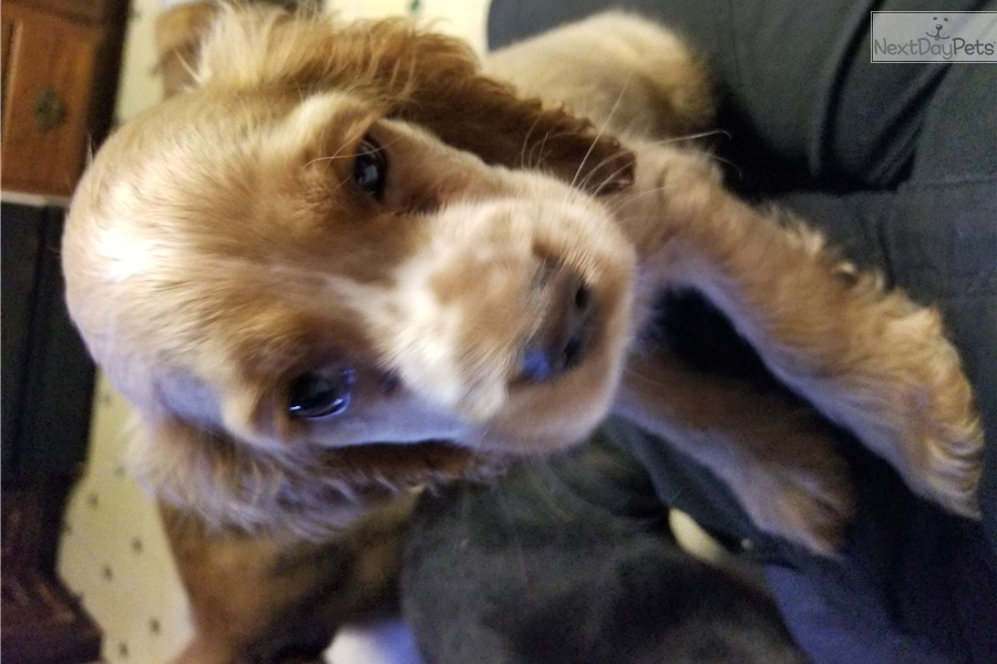 Tucker: Cocker Spaniel puppy for sale near Binghamton, New York