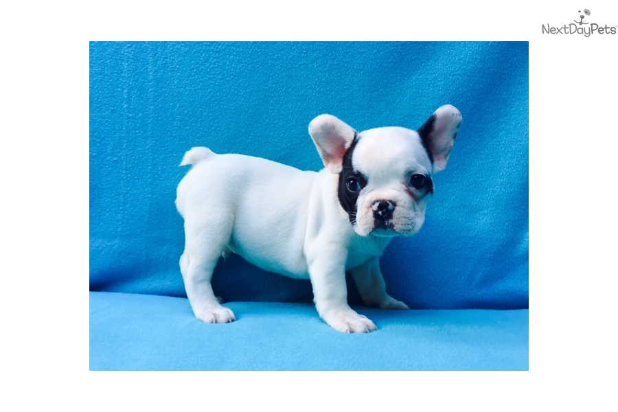 french bulldog puppies nc french bulldog puppy for sale near charlotte north 4706