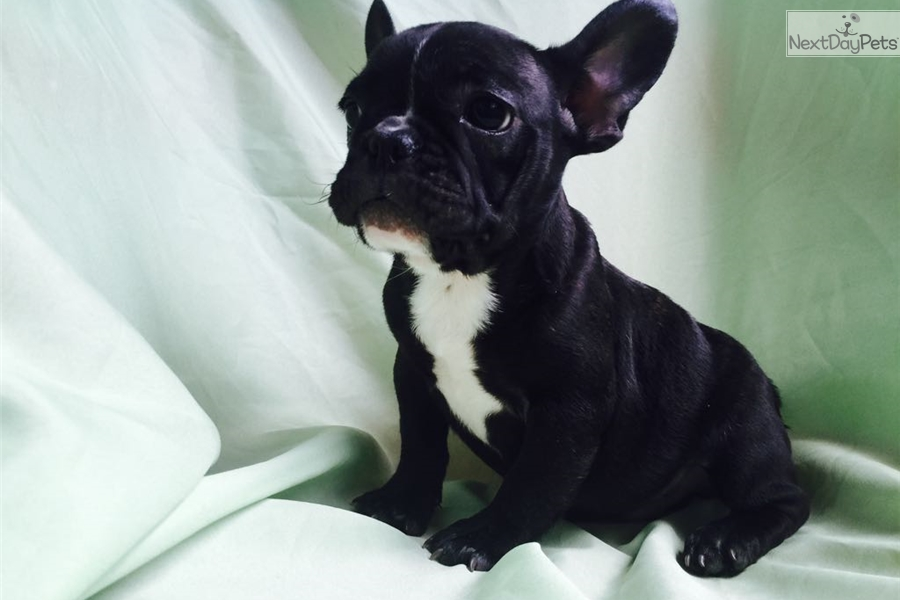 french bulldog puppies charlotte nc perros french bulldog boy 2 black white male french bulldog 9113