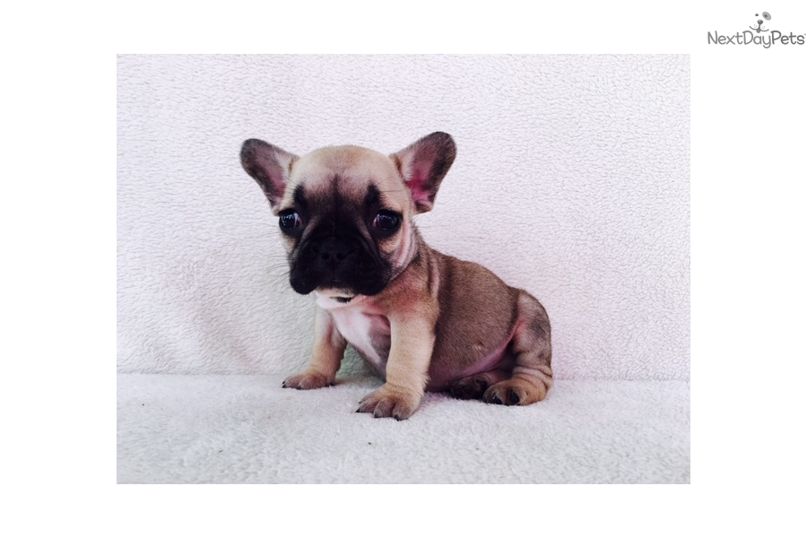 french bulldog puppies nc boy 4 french bulldog puppy for sale near charlotte 7677