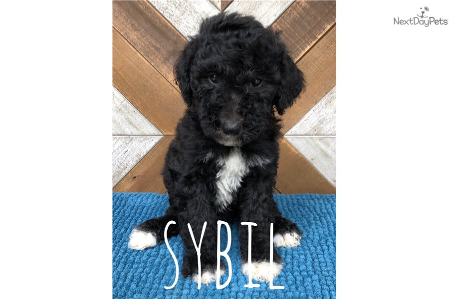 Sybil Bernedoodle Puppy For Sale Near South Bend Michiana