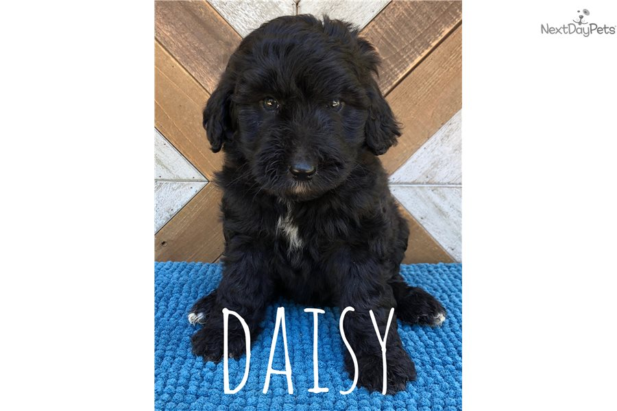 Daisy Bernedoodle Puppy For Sale Near South Bend Michiana