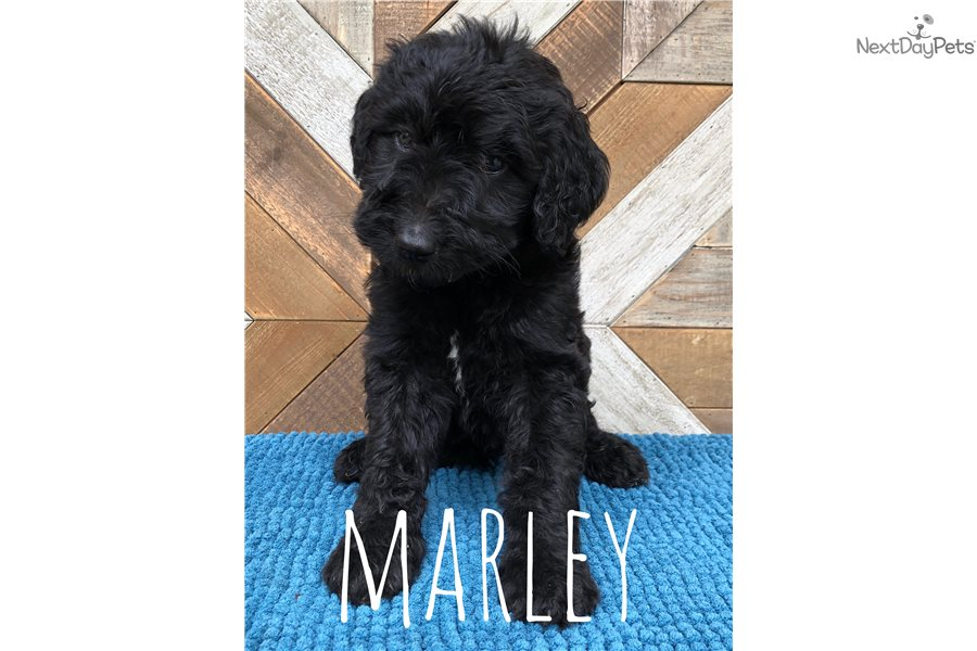 Marley Bernedoodle Puppy For Sale Near South Bend