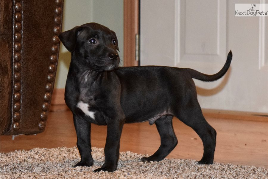 Pit Bull Puppies For Sale In Belgium | Dog Breeds ...
