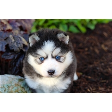 View full profile for Ams Huskies And Pomskies
