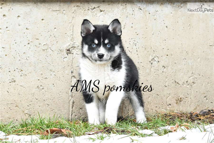 Posie: Pomsky puppy for sale near South Bend / Michiana ...