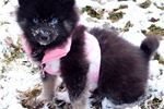 Picture of WOOLY POMSKY FEMALE